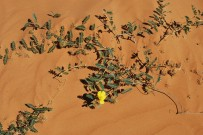 Simpson Desert 094